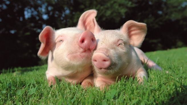 pigs_in_grass